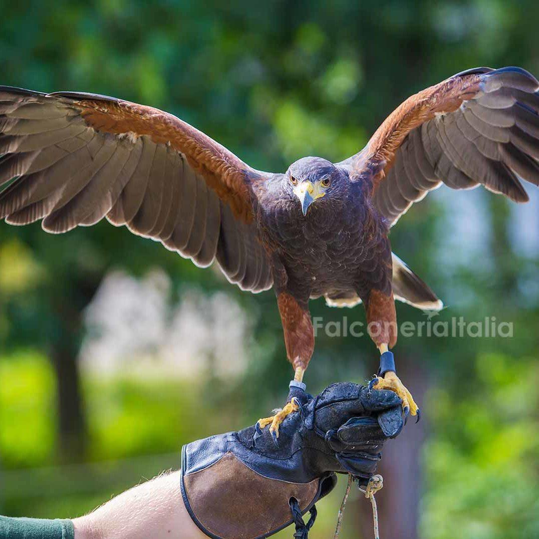 Falconeria Italia falconieri professionisti per allontanamento volatili