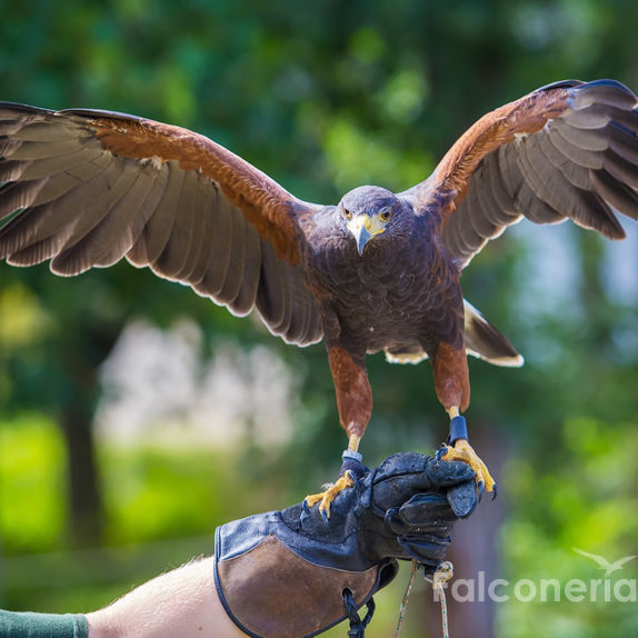 falconeria-allontanamento-volatili