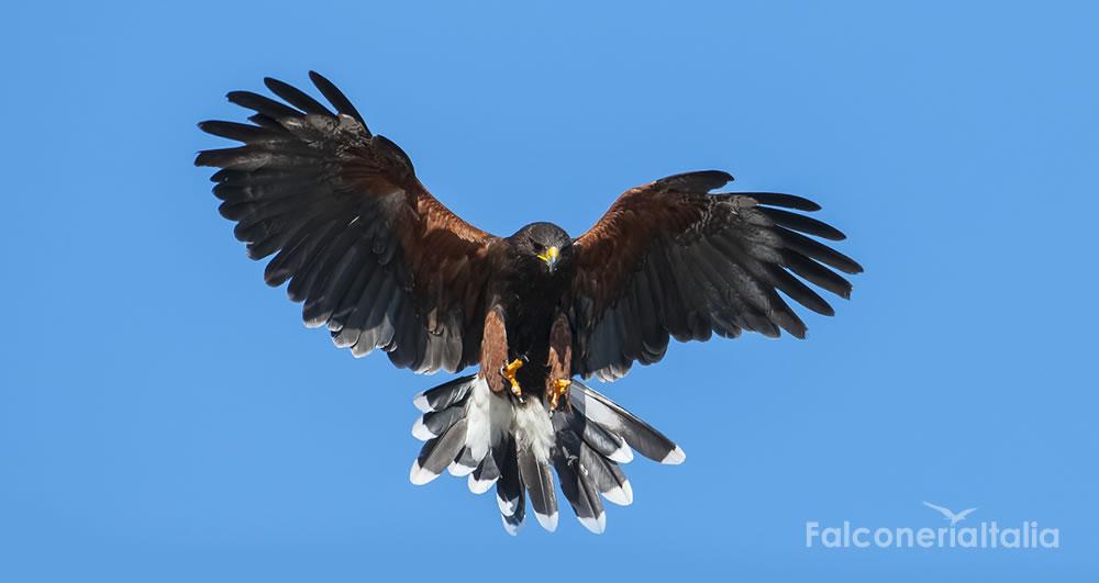 Farnia, il nostro Falco in volo in fase di allontanamento piccioni