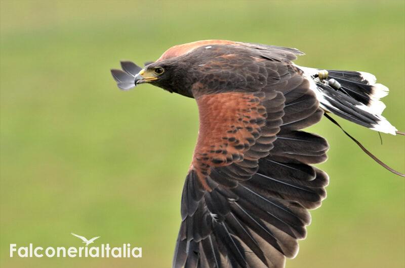 poiana harris allontanamento volatili infestanti con falconeria